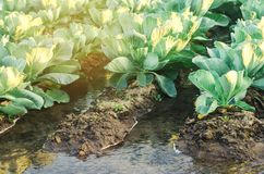 Innaffiatura naturale dei raccolti agricoli, irrigazione Le piantagioni del cavolo si sviluppano nel campo file di verdure Agrico fotografia stock libera da diritti