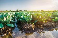 Innaffiatura naturale dei raccolti agricoli, irrigazione Le piantagioni del cavolo si sviluppano nel campo file di verdure Agrico immagini stock