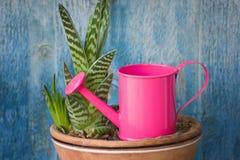 Innaffiatura poco rosa e succulente Priorità bassa blu dell'annata Fotografia Stock