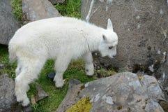 Innemend Rocky Mountain Goat Kid stock afbeeldingen