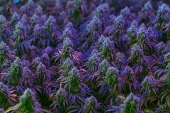 Innenfeld von den bunten medizinischen Marihuanaanlagen, die für alternatives Gesundheitswesen kultiviert werden, beabsichtigt lizenzfreies stockbild