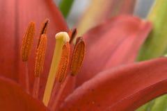 Innenraum der roten Lilie Lizenzfreies Stockbild