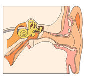 Inner ear anatomical details Stock Photography