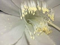 Inner flower. Deeper inner one night flower Stock Photo