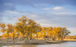 Inner Mongolia,  EJINAQI of Populus euphratica Royalty Free Stock Photos