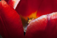 The inner space of the beautiful tulip. Royalty Free Stock Image
