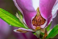 Innere Magnolien-Blüte Stockfoto