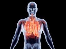 Innere Organe - Lungen Stockfoto