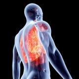 Innere Organe - Lungen Stockbilder