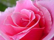 Inneres der Rose Lizenzfreie Stockfotos