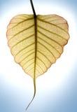 Inneres formte neues Blatt des peepal Baums im Sonnenlicht Stockbild