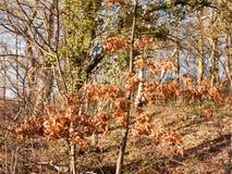 inneres Holz mit hohem Waldland vieler Stämme des Baums bloßen Wald Stockfoto
