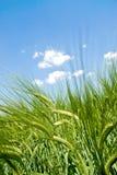 Innerhalb der Getreidespitzen Stockbild
