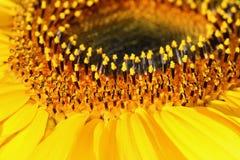 Innerhalb der Sonnenblume lizenzfreie stockbilder