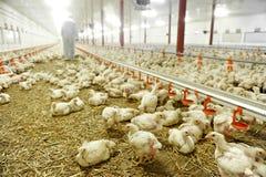 Innerhalb einer Geflügelfarm Stockfotografie