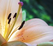 Innerhalb einer Lilie Stockbilder