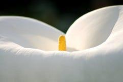 Innerhalb einer Lilie lizenzfreies stockfoto