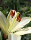 Innerhalb einer Lilie Makro von Staubgefässen der weißen Lilie Stockfotos