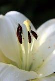 Innerhalb einer Lilie Makro von Staubgefässen der weißen Lilie Lizenzfreies Stockfoto