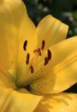 Innerhalb einer Lilie Schließen Sie oben von den gelben Lilienstaubgefässen Lizenzfreie Stockbilder
