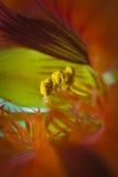 Innerhalb einer Orchidee Stockfotografie