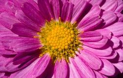 Innerhalb einer rosa Chrysantheme Stockbilder