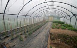 Innerhalb eines langen Gewächshauses mit Tomatenpflanzen im Frühjahr Lizenzfreie Stockfotos