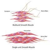 Innervation des glatten Muskels Stockfotos
