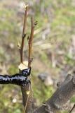 Innesto degli alberi da frutto Fotografia Stock