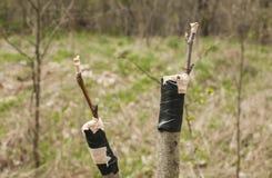 Innesto dei rami del primo piano dell'albero da frutto Fotografia Stock