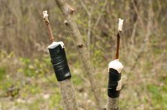 Innesto dei rami del primo piano dell'albero da frutto Immagine Stock Libera da Diritti