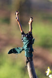 Innesto dell'albero da frutto in un meleto Fotografia Stock