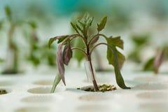Innesto della plantula in serra concrezione dell'innesto Fotografia Stock