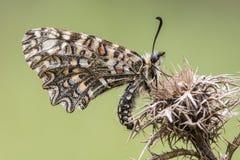 Innkeeper бабочки с деталями крылов и зеленой равномерной предпосылки Стоковые Фотографии RF