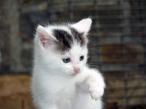 Innocence. Cute little kitten with uplifted wet paw innocently looking away from the camera Stock Photography