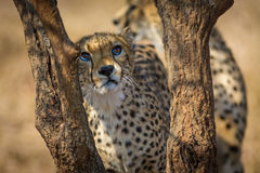 Young Cheetah - Innocence or Anger Royalty Free Stock Photo