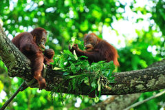 Innocence & Simplicity. Two baby orangutans having a picnic of fresh leaves on a sturdy tree branch, showing a refreshing innocence and simplicity in life Royalty Free Stock Images