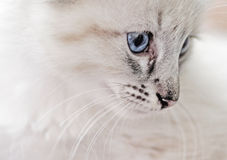 Innocence - White Lynx Point Balinese Kitten Royalty Free Stock Images