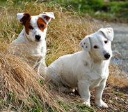 We Are Innocent. Two innocent looking puppy dogs Stock Photo
