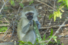 Innocent baby vervet monkey eating a plant Royalty Free Stock Photography