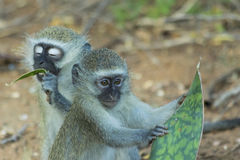 Innocent baby vervet monkey eating a plant. In the bush Stock Photos