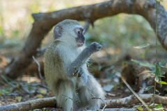 Innocent baby vervet playing with a plant Royalty Free Stock Image