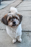Innocent dog. A dogs looking at camera, she is innocent dog and very cute Royalty Free Stock Photography