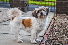 Innocent dog. A dogs looking something, she is innocent dog and very cute Royalty Free Stock Image