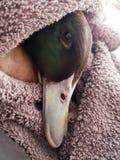 Innocent drake duck royalty free stock photo