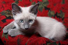 Innocent Eyes. Sweet and innocent, purebred, lilac point Siamese kitten on red poinsettia tapestry chair royalty free stock photos