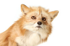 The Innocent Face. Studio portrait of a Red Fox isolated on a white background Stock Photography
