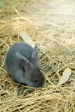 Innocent little gray Rabbit in straw. Have some space for writ wording Stock Images