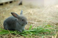 Innocent little gray Rabbit in straw. Have some space for writ wording stock image