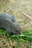 Innocent little gray Rabbit in straw. Have some space for writ wording Royalty Free Stock Photography